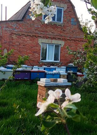 Продам бджолосімї та бджолопакети.