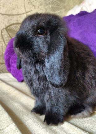 Карликовые кроликиMiniLop и NHD