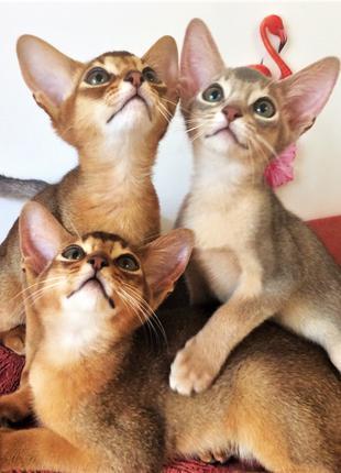 """Абиссинские котята """"диких и голубых кровей"""" для Вас!"""