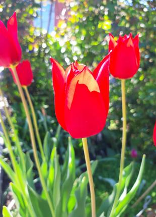Высокий красный тюльпан