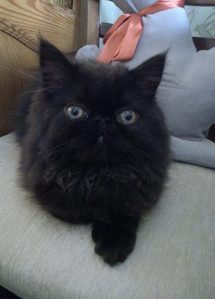 Котик персидський