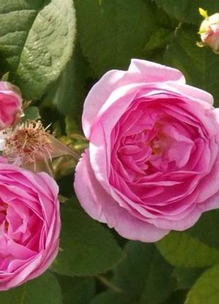 Чайная роза, саженцы дёшево