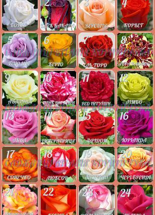 Рози саженцы Троянди  саджанці (роза, розы)