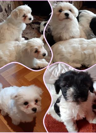 Красивые щенки Мальтезе.