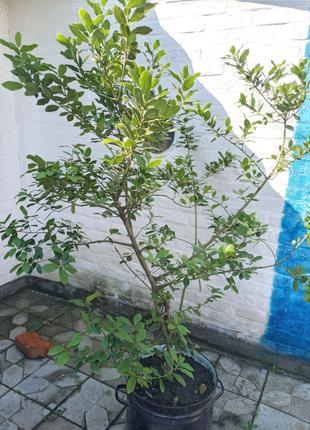 Лавр, лаврове дерево