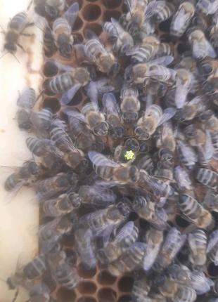 Бджоломатки, пчеломатки ( карпатка)