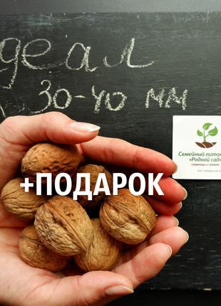 """Орех """"Идеал"""" семена 30-40 мм (30 шт) сорт скороплодный"""