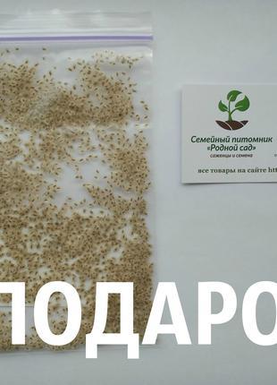 Павловния войлочная семена для бизнеса (около 2500 шт)