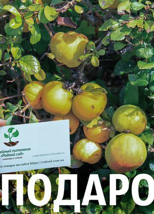 Хеномелес семена 50 шт насіння,айва японская семечка для саженцев