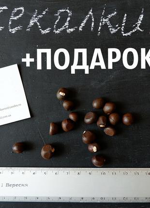 Чекалкин орех 20 штук семена на саженцы(насіння на саджанці)