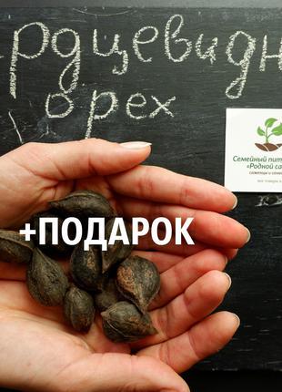 Орех сердцевидный 40 шт семена (насіння горіх для саджанців)