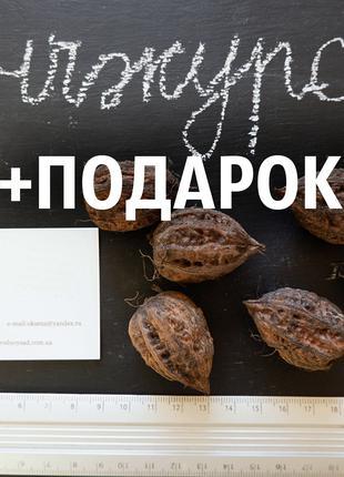 Манчжурский орех 40 штук семена для саженцев насіння горіх