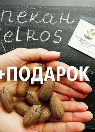 """Пекан (20 штук) сорт """"Melros"""" (ранний) семена орех кария"""