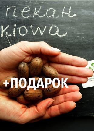 """Пекан (20 штук) сорт """"Kiowa"""" (ранний) семена орех кария"""