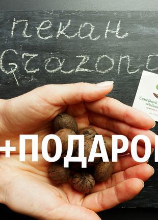 """Пекан (20 штук) сорт """"Grazona"""" (средне-ранний) семена орех кария"""