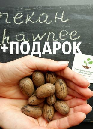 "Пекан (20 штук) сорт ""Chawnee"" (средне-ранний) семена орех кария"