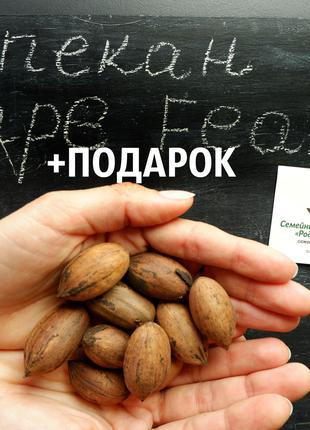 """Пекан (20 штук) сорта """"Cape Fear"""" (ранний) семена орех кария"""
