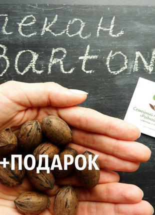 """Пекан (20 штук) сорт """"Barton""""(ранний)семена орех кария"""