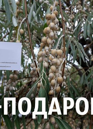 Дикая маслина 200 штук семена лох серебристый на саженцы, насіння