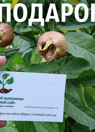 Мушмула германская 40 штук семена для саженцев, насіння