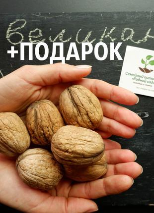 """Грецкий орех """"Великан"""" 10штук семена для саженцев насіння+подарок"""