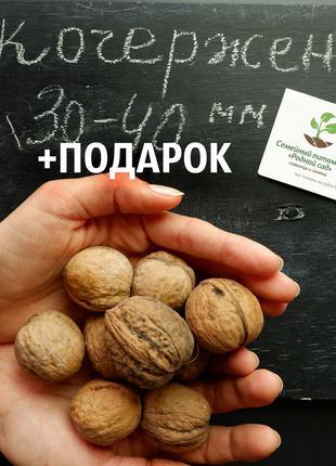 """Орех """"Кочерженко""""семена 30-40 мм(30 шт)сорт низкорослный грецкий"""