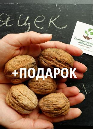 Орех грецкий Яцек 10 штук семена для саженцев насіння на саджанці