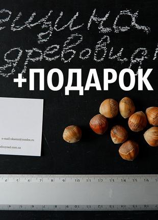 Лещина древовидная 40 штук семена, медвежий орех(для саженцев)