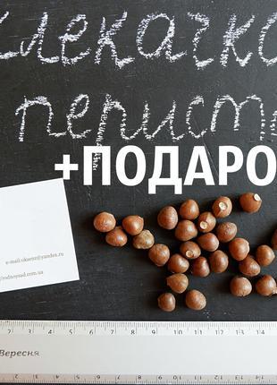 Клекачка перистая 30 штук семена орехи на саженцы, насіння горіхи