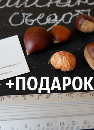 Каштан съедобный (3-8 грамм) 40 штук семена (посевной),орехи