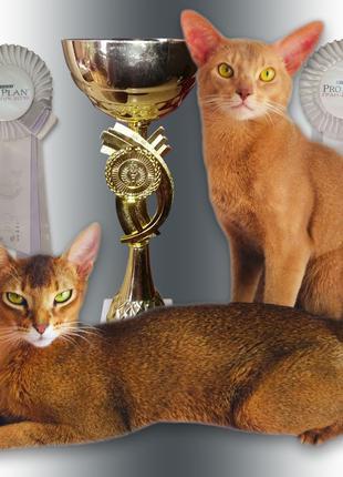 Абиссинские чистопородные котята