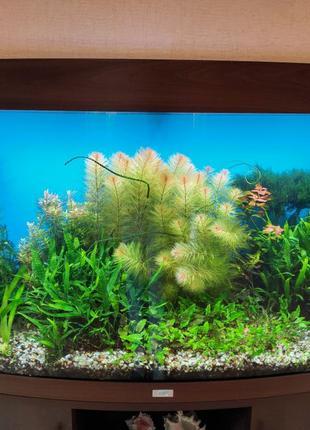 Аквариумные растения. Перистолистник красный, криптокорины, мхи.