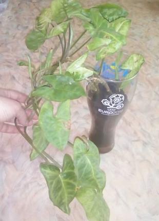 Комнатное растение/вьющийся цветок/цветы/растения/плющ/диффенб...