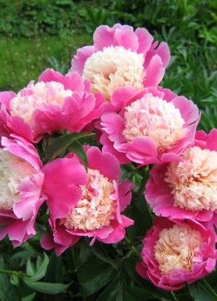 Піон рожевий, акція(великий кущ за 200 грв.)