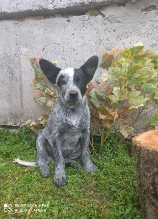 Австралийская пастущья собака