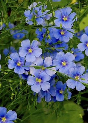Лен, цветы, рассада