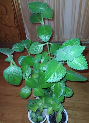 Комнатные цветы: Плектрантус ароматный (комнатная мята)