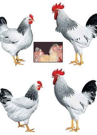 Инкубационное яйцо Доминантов всех окрасов
