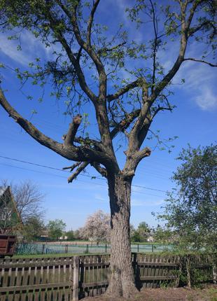 Продам дерево американского ореха.