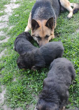 Бронь щенков немецкой овчарки
