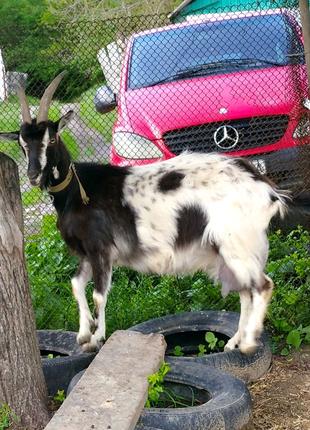 Коза тагенбурка