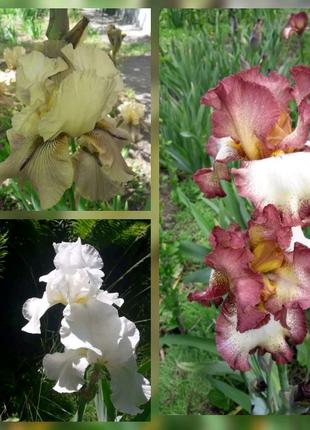 Цветы ирисы сортовые германские набор + 1 корешок в подарок