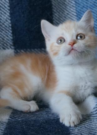 Предлагаем малыша персикового мраморного с белым столичного страй
