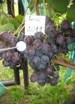 Саженец винограда Антей