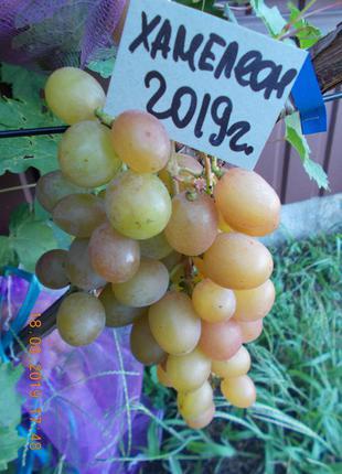 Саженец винограда Хамелеон