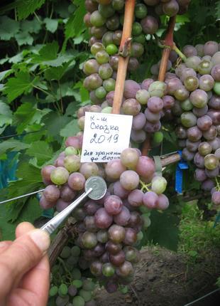 Саженец винограда кишмиш Сказка