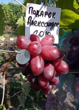 Саженец винограда Подарок Александре
