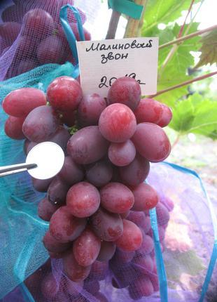 Саженец винограда Малиновый Звон