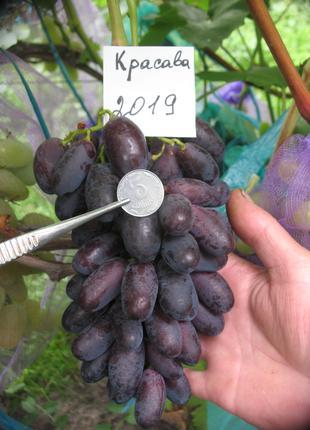 Саженец винограда Красава