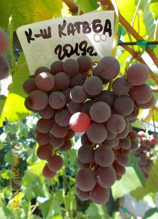 Саженец винограда кишмиш Катавба